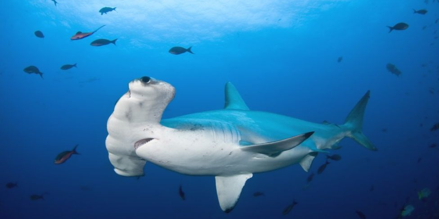 Hammerhead Shark Spotted Off Irish Coast For The First Time Is A Sign Of Warming Seas