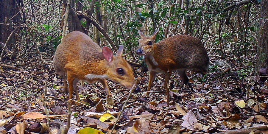 Researchers capture images of mouse deer thought to be extinct for 30 years