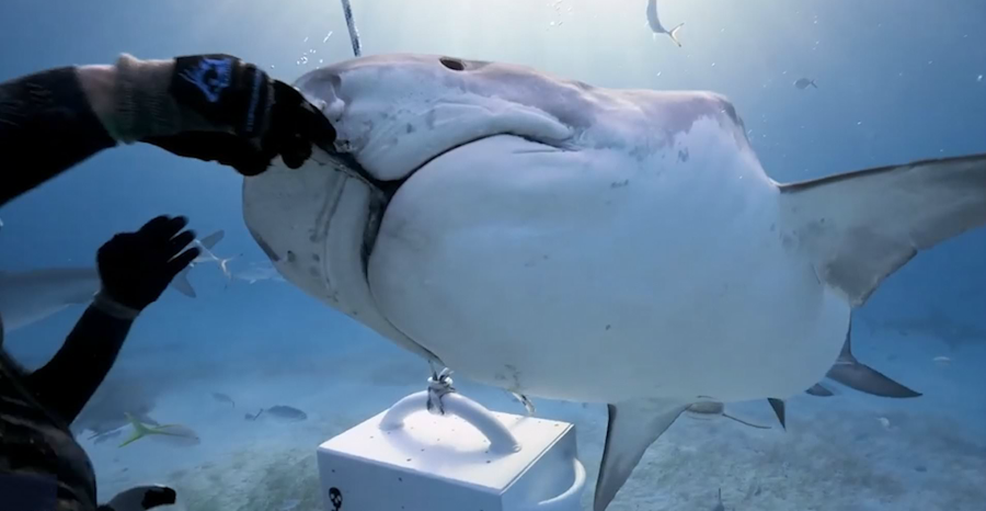 Amazing footage shows diver hand feeds a tiger shark a fish [Video]