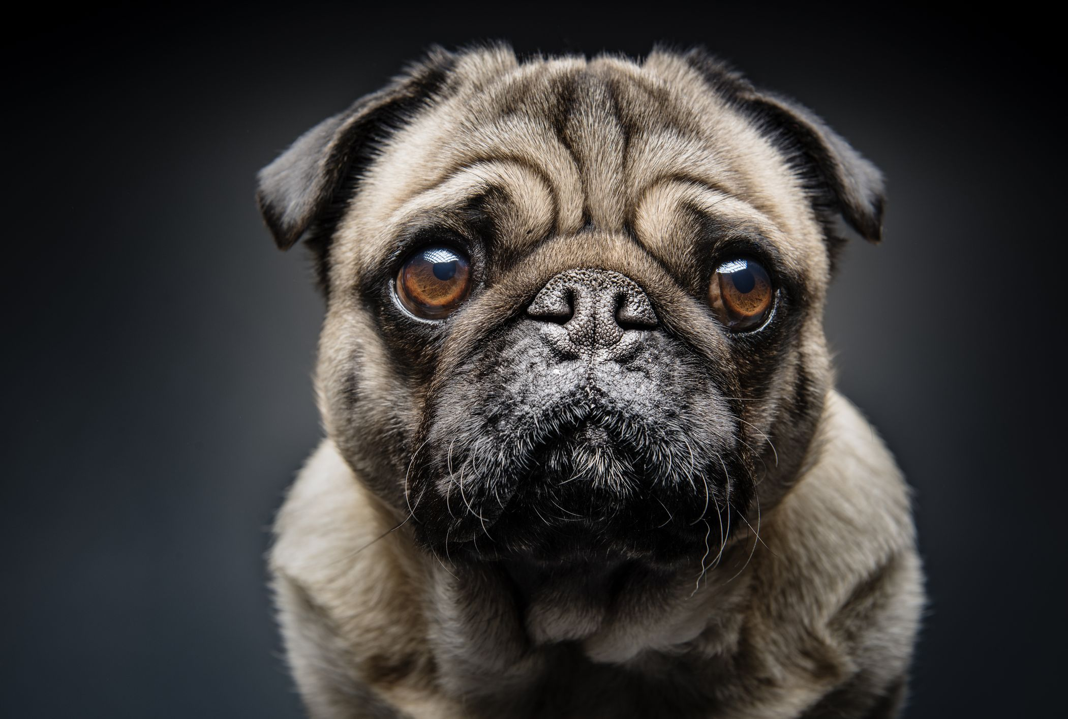 Veterinarian says pugs could be more susceptible to coronavirus
