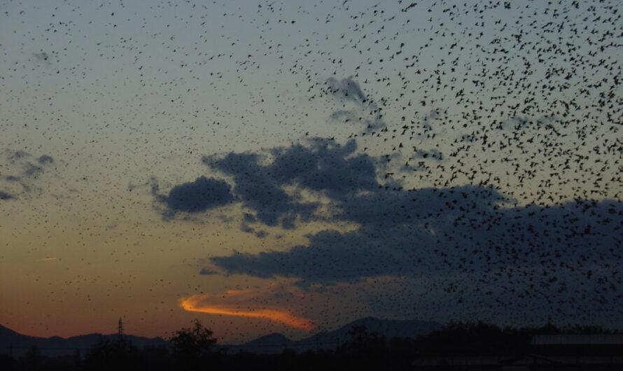 Nearly a thousand birds invade a California home [Video]