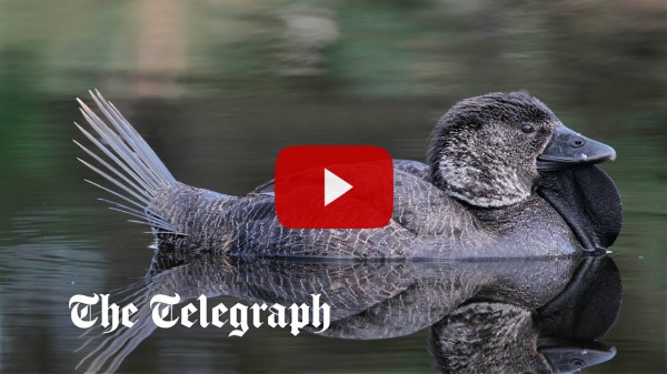 Duck learns to swear after imitating humans [video]